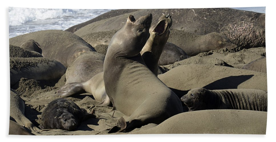 California Hand Towel featuring the photograph Seal Duet by Bob Christopher