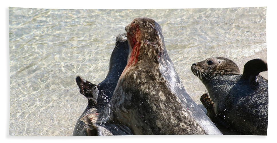 Seals Bath Towel featuring the photograph Seal Fight by Anthony Jones