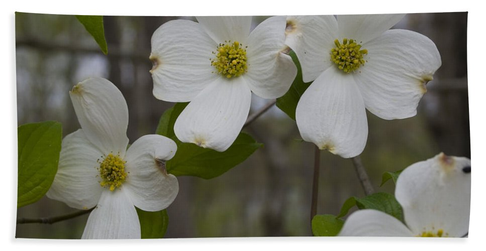 Flower Hand Towel featuring the photograph Season Of Dogwood by Andrei Shliakhau