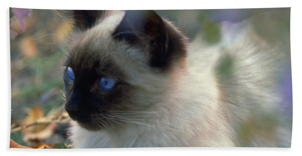 Animals Bath Sheet featuring the photograph Siamese Cat Hiding by Robert Chaponot