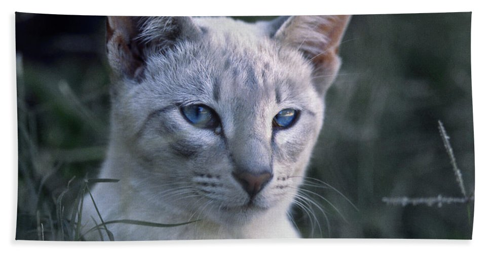 Animals Bath Sheet featuring the photograph Siamese Cat by Robert Chaponot