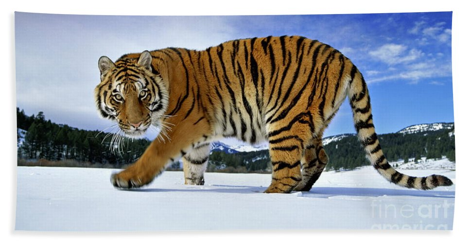 Mammal Hand Towel featuring the photograph Siberian Tiger by Andy Rouse and Photo Researchers