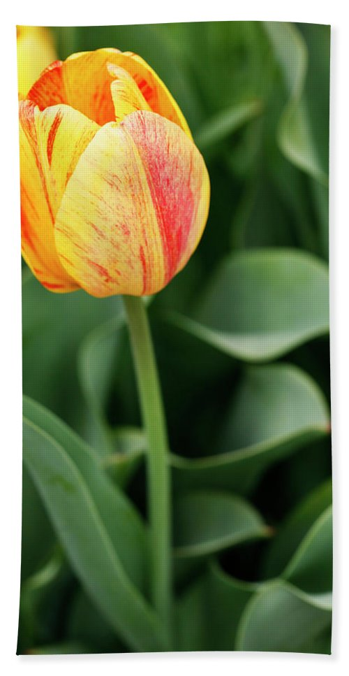 Tulip Bath Sheet featuring the photograph Signs Of Spring by Marilyn Hunt