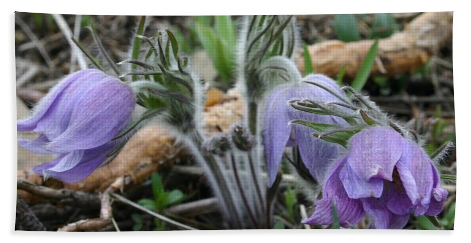 Pasque Flower Bath Towel featuring the photograph Signs Of Spring by Nelson Strong