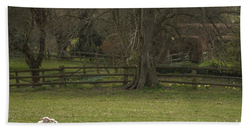 Sheep Bath Sheet featuring the photograph Silent Afternoon by Angel Ciesniarska