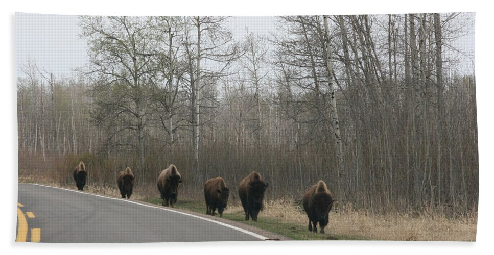 Buffalo Bison Herd Roaming National Park Edmonton Ab Elk Island Hand Towel featuring the photograph Single File Now by Andrea Lawrence