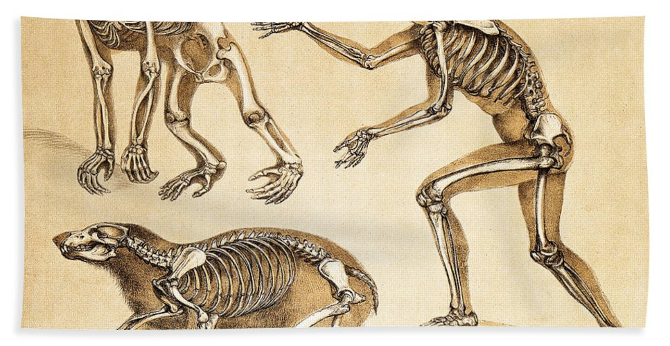 Historic Hand Towel featuring the photograph Skeletons Of Man, Ape, Bear, 1860 by Wellcome Images