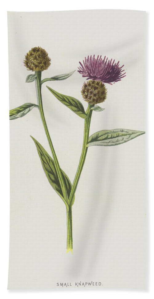 Botanical Bath Sheet featuring the painting Small Knapweed by Frederick Edward Hulme