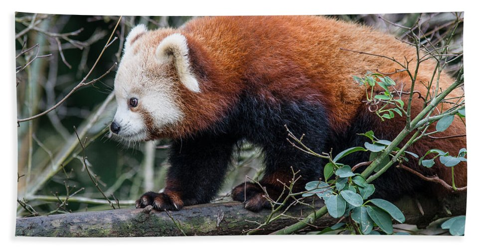 Sequoia Park Zoo Hand Towel featuring the photograph Sneaky Red Panda by Greg Nyquist