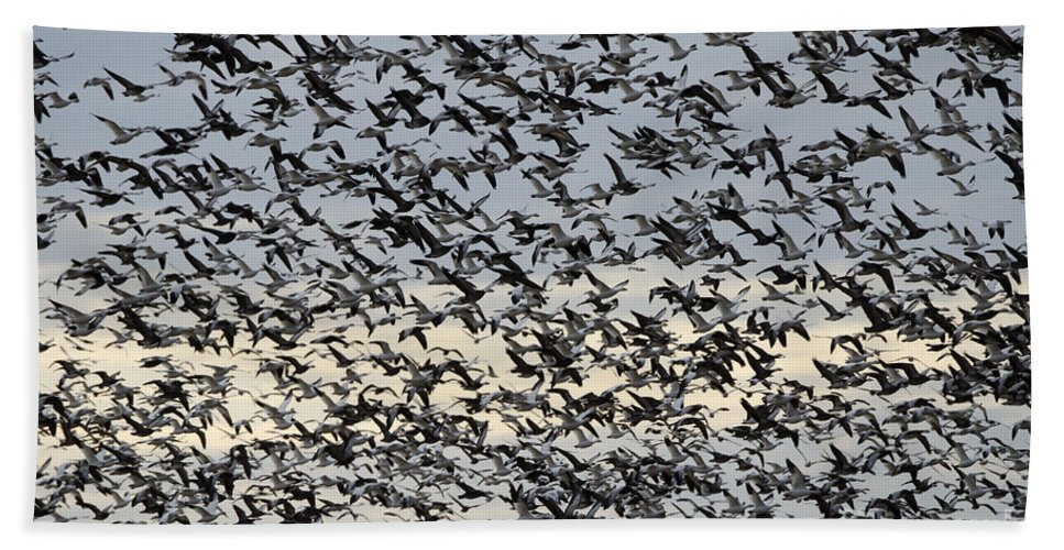 Geese Hand Towel featuring the photograph Snow Geese Spring Migration by Bob Christopher