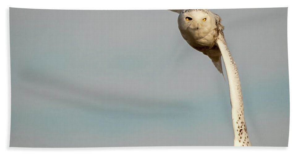 Snowy Owl Hand Towel featuring the photograph Snowy In Flight by Samantha Kennedy