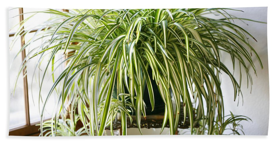 Spider Plant Hand Towel featuring the photograph Spider Plant by Marilyn Hunt