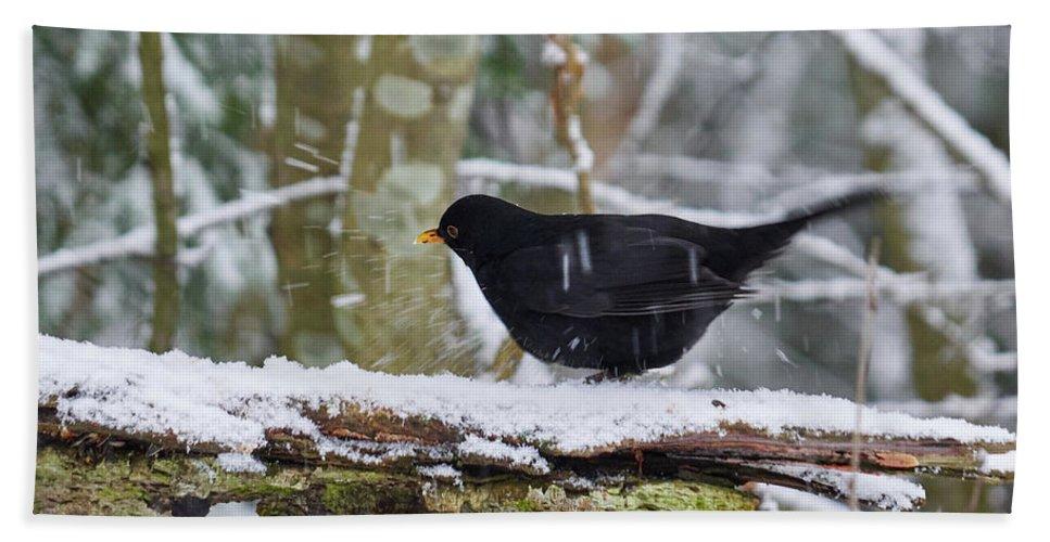 Lehtokukka Bath Sheet featuring the photograph Splash. Eurasian Blackbird by Jouko Lehto