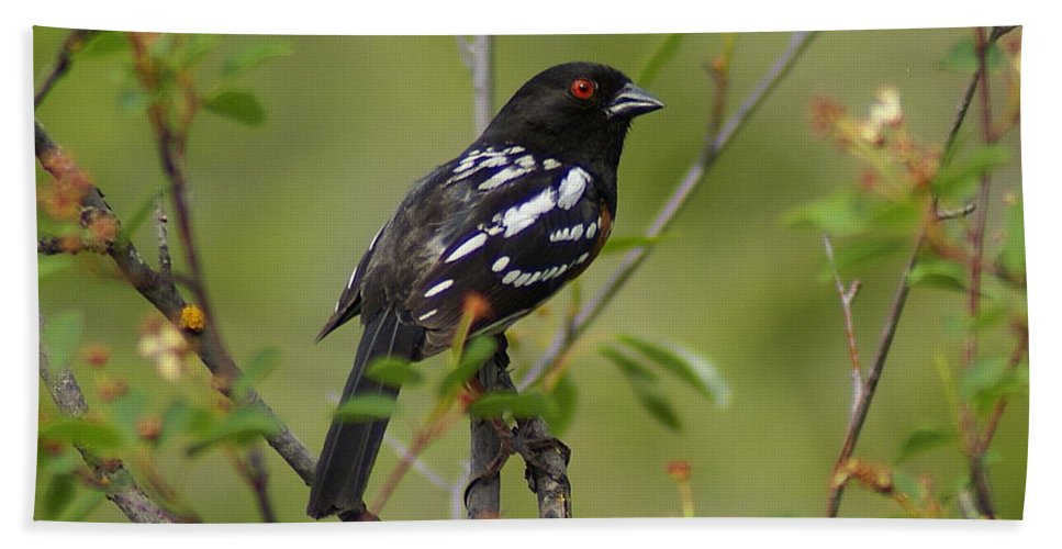 Spokane Hand Towel featuring the photograph Spotted Towhee by Ben Upham III