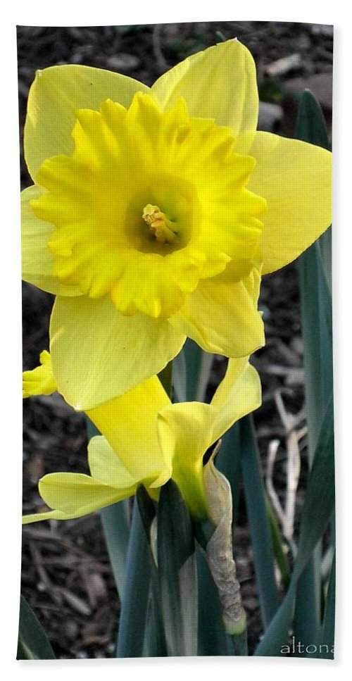 Daffodil Bath Sheet featuring the photograph Spring Daffodil by T Cook