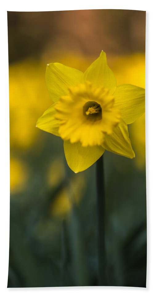 Floral Bath Sheet featuring the photograph Spring Daffoldil by Matt Malloy