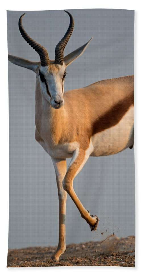 Photography Bath Sheet featuring the photograph Springbok Antidorcas Marsupialis by Panoramic Images
