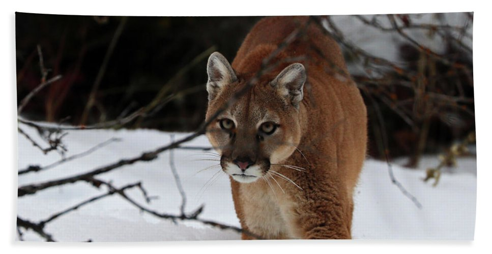 Mountain Lion Hand Towel featuring the photograph Stalking by Dan Orr