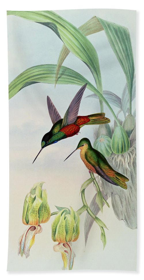 Hummingbird Bath Towel featuring the painting Star Fronted Hummingbird by John Gould