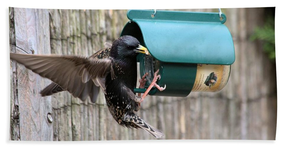 Starling On Bird Feeder Bath Towel featuring the photograph Starling On Bird Feeder by Gordon Auld