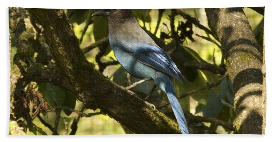 Blue Bird Bath Sheet featuring the photograph Stellar Jay 2 by Sara Stevenson