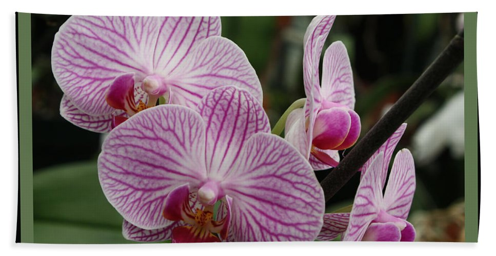 Phalaenopsis Bath Sheet featuring the photograph Striped Orchids With Border by Carol Groenen