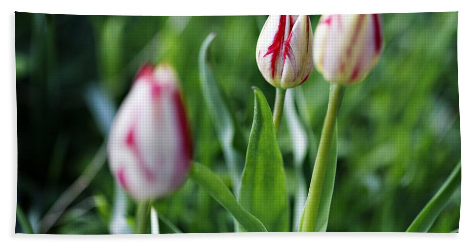 Flower Bath Sheet featuring the photograph Striped Tulips In Spring by Marilyn Hunt