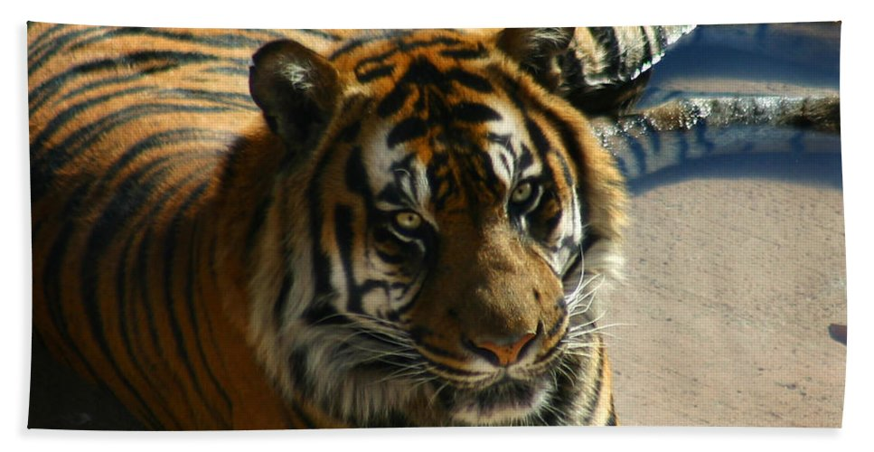 Tiger Hand Towel featuring the photograph Sumatran Tiger by Anthony Jones