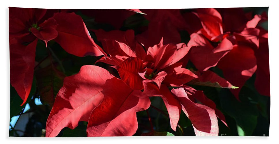Euphorbia Pulcherrima Hand Towel featuring the photograph Sun Blushed Poinsettia by William Tasker