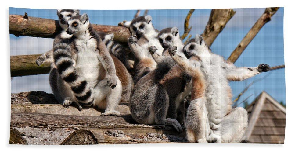 Animal Hand Towel featuring the photograph Sunbathing Ring-tailed Lemurs by MSVRVisual Rawshutterbug
