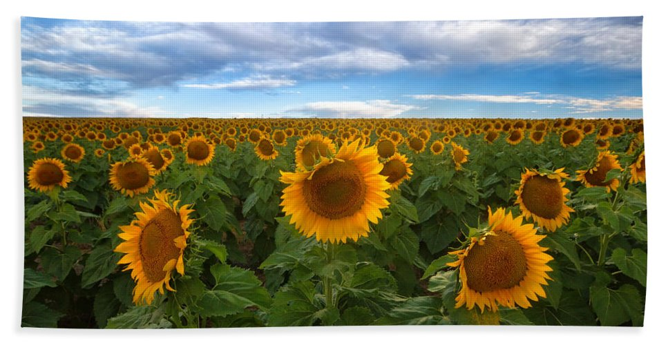 Sunflower Hand Towel featuring the photograph Sunflower Field by Ronda Kimbrow