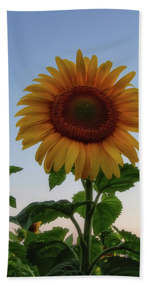 Sunflowers Hand Towel featuring the photograph Sunflowers 4 by Heather Kenward
