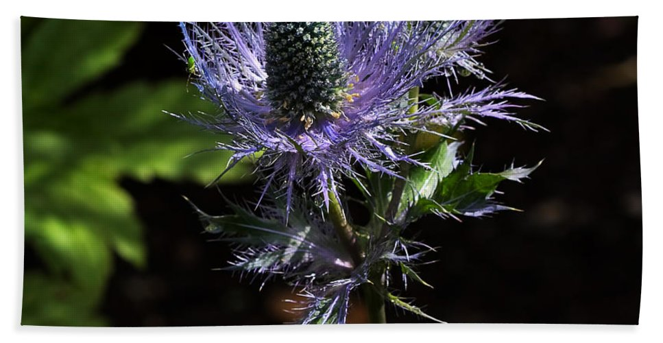 Flower Hand Towel featuring the photograph Sunlit Bloom Of Alpine Sea Holly by Louise Heusinkveld