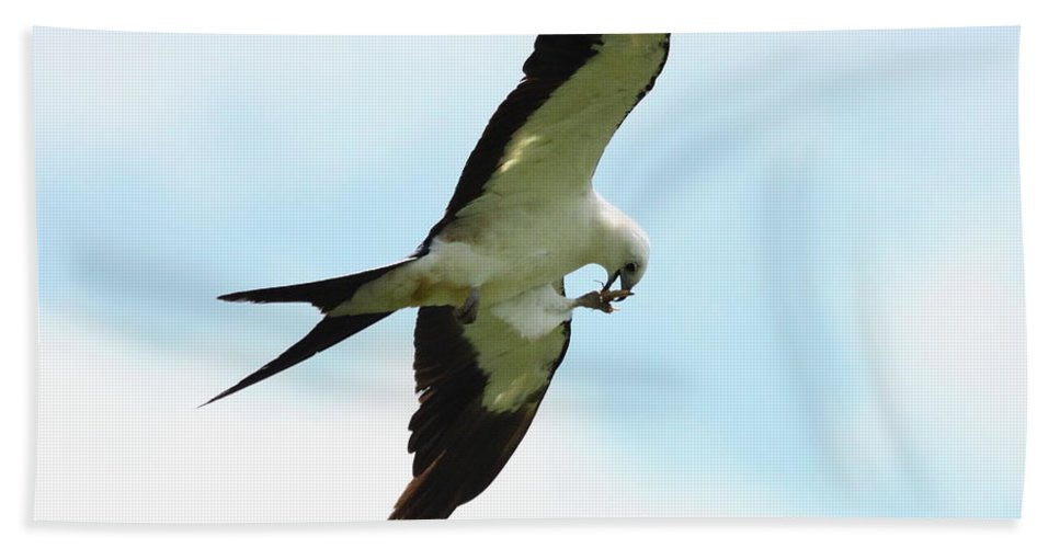 Swallow-tailed Kite Bath Sheet featuring the photograph Swallow-tailed Kite Eating by Barbara Bowen