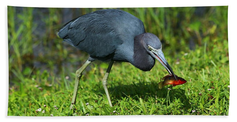 Ittle Blue Heron Bath Sheet featuring the photograph Swamp Hunter by Christiane Schulze Art And Photography