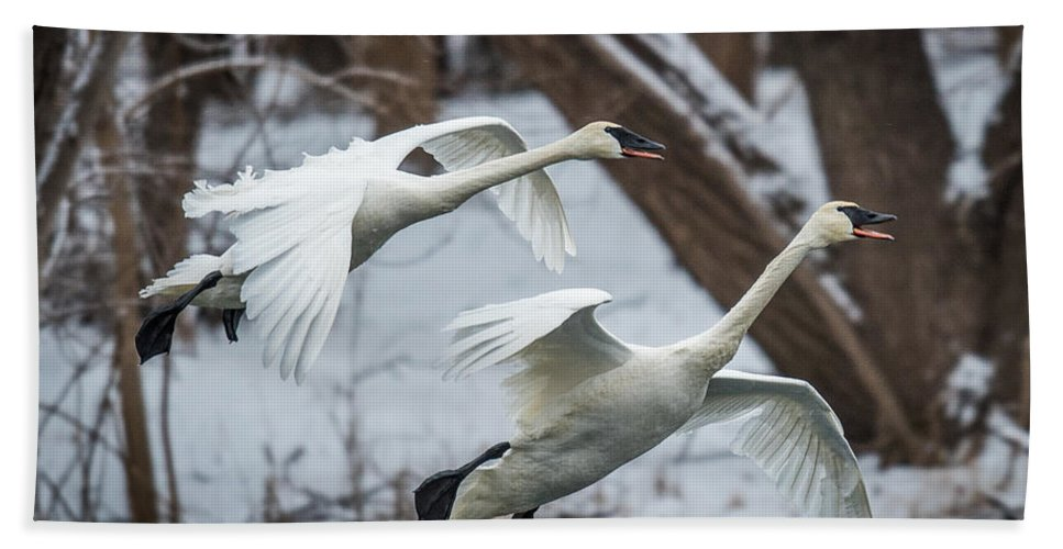 Swan Hand Towel featuring the photograph Swans Landing by Paul Freidlund