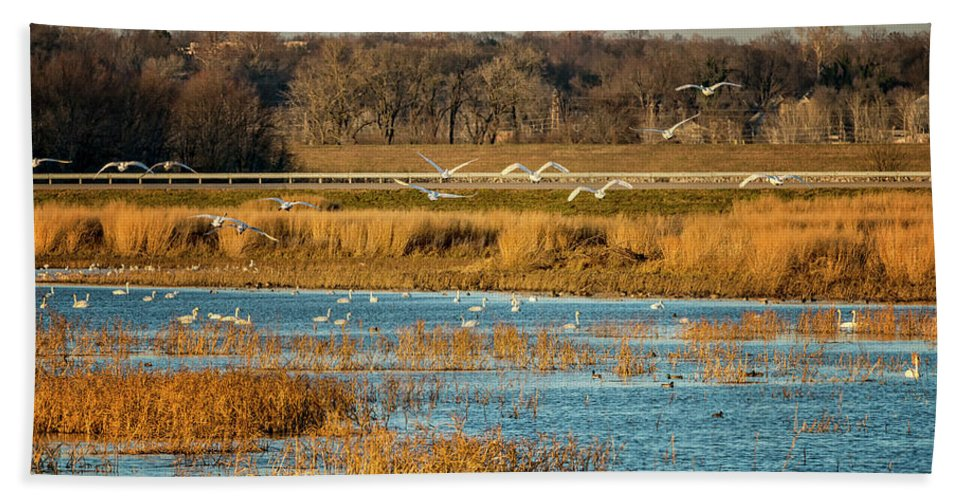 Trumpeter Swans Bath Sheet featuring the photograph Swans Returning To The Roost At Riverlands 7r2_dsc3855_12202017 by Greg Kluempers