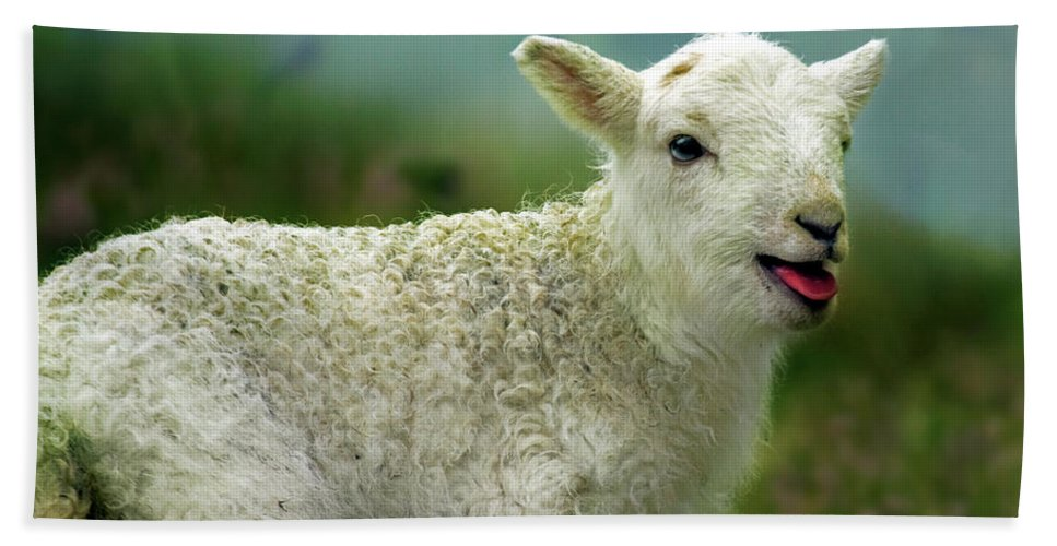 Lamb Bath Sheet featuring the photograph Swet Little Lamb by Angel Ciesniarska