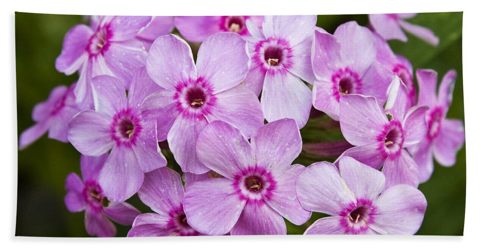Phlox Hand Towel featuring the photograph Tall Garden Phlox by Teresa Mucha