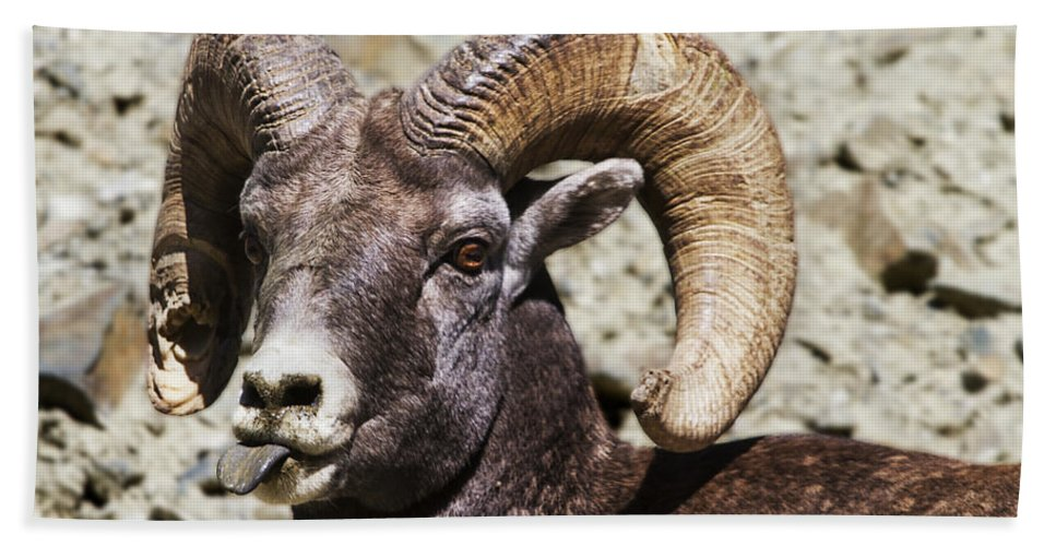 Montana Hand Towel featuring the photograph Taunting Bighorn by Mark Kiver