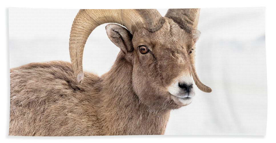 Young Big-horn Ram Bath Sheet featuring the photograph That Handsome Ram by Yeates Photography