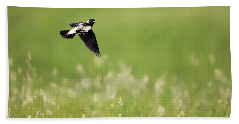 Bobolink Hand Towel featuring the photograph The Bobolink In Flight by Bill Wakeley