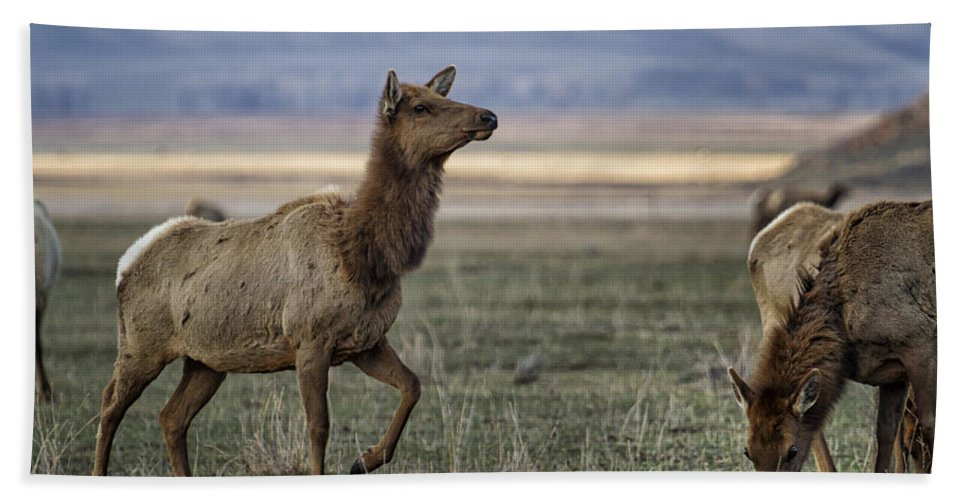 Elk Bath Sheet featuring the photograph The Cow Elk by Belinda Greb