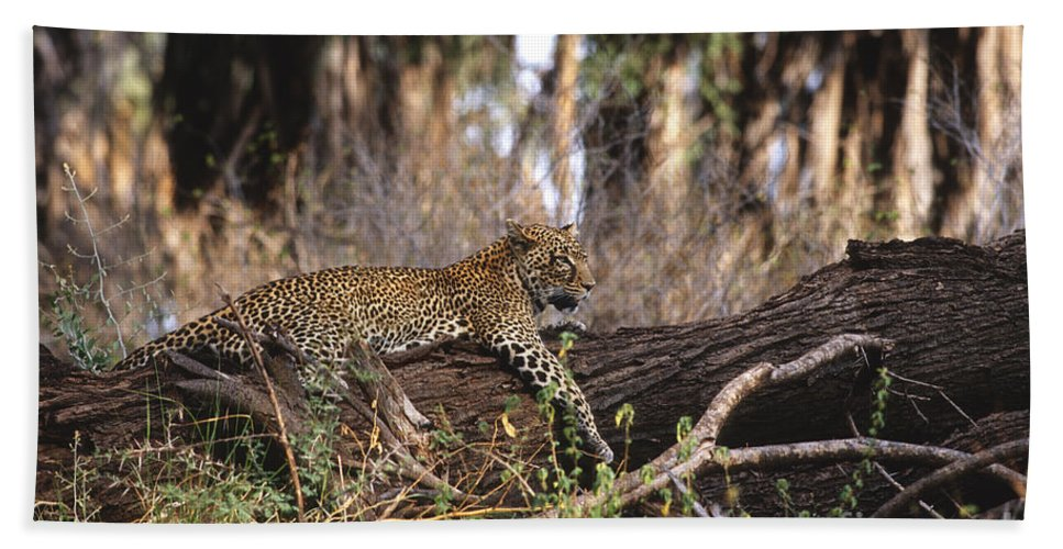 Africa Bath Sheet featuring the photograph The Elusive Leopard by Sandra Bronstein