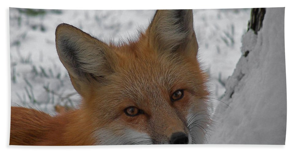 Red Fox Hand Towel featuring the photograph The Fox 4 by Ernie Echols