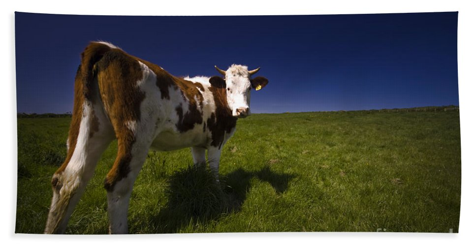 Cow Bath Towel featuring the photograph The Funny Cow by Angel Ciesniarska