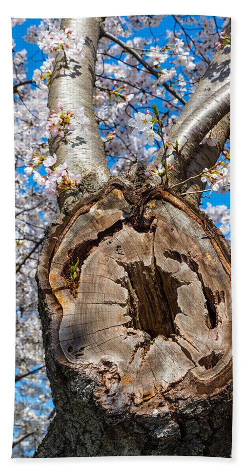 Cherry Blossom Festival Hand Towel featuring the photograph The Old Cherry Tree by SR Green