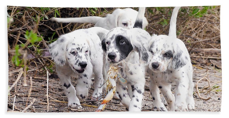 English Setter Bath Towel featuring the photograph The Puppy's Prize by Scott Hansen