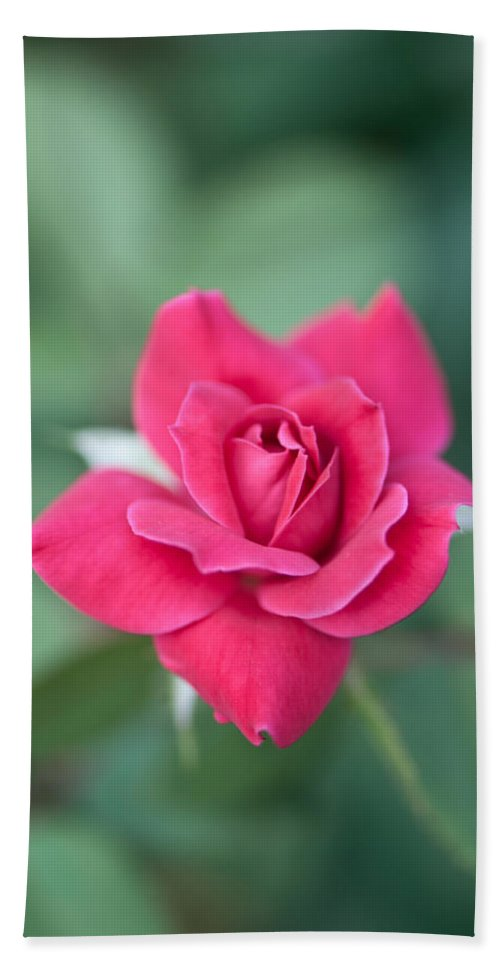 Floral Hand Towel featuring the photograph The Rose by Betty LaRue