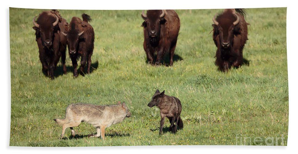 Bison Bath Sheet featuring the photograph The Standoff by Jim Chagares
